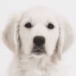 The unusual beauty of the white golden retriever