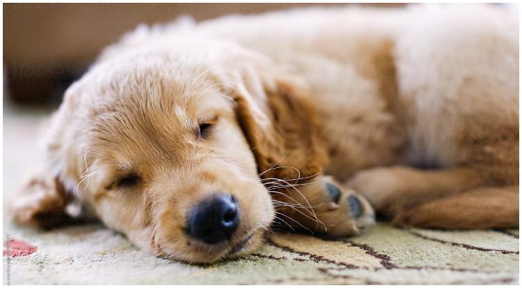 Golden retriever puppy sleeping on the carpet