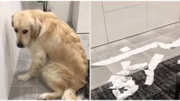 Golden retriever feels guilty after he destroyed a roll of toilet paper
