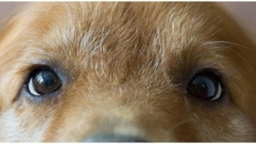 Golden retriever owner photographed it's dog's eyes while wondering are dogs color blind