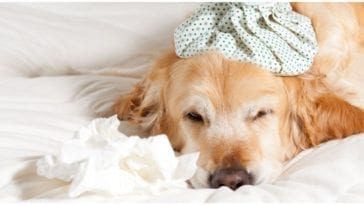 Golden retriever laying down sick while his owner wonders can dogs catch the flu
