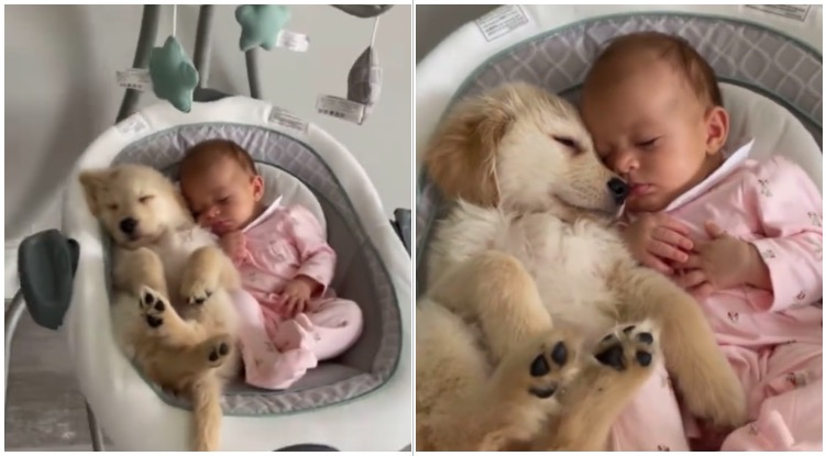 Golden retriever puppy taking a nap with his baby sister
