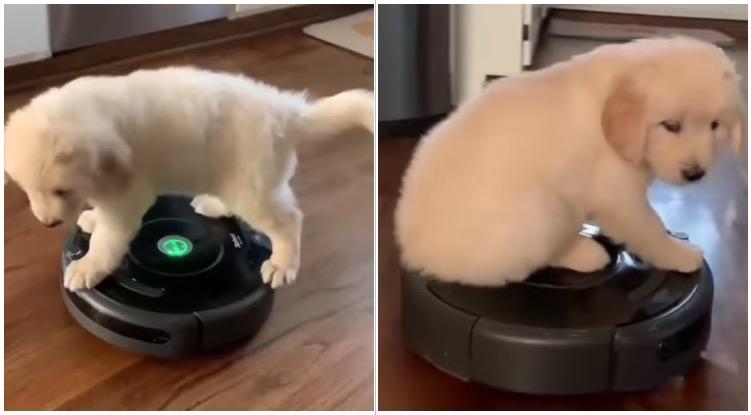 Golden retriever puppy riding on owner's robotic vacuum