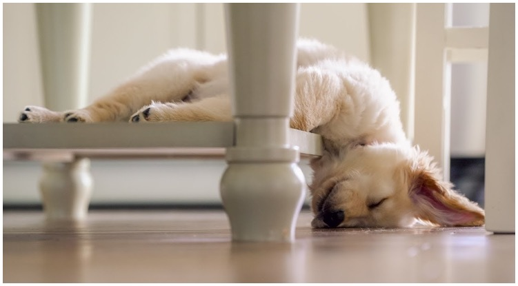Adorable golden retriever puppy sleeping on the stairs while his owner wonders do dogs dream?