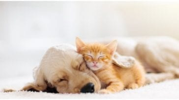 Golden retriever puppy taking a nap with a ginger kitten while their owner wonders can dogs be allergic to cats