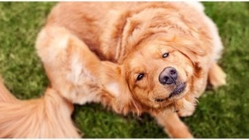 Golden retriever scratching itself while his owner wonders can dogs have benadryl