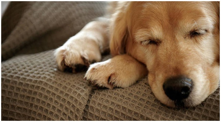 Golden retriever sleeping on the couch while his owner is wondering do dogs dream