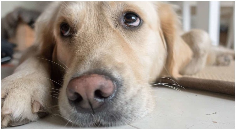 A golden retriever with a sad look in his eyes looking at owner who askes how long can a dog live with cancer