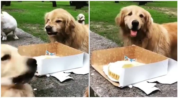 Golden retriever protecting his birthday cake from another dog