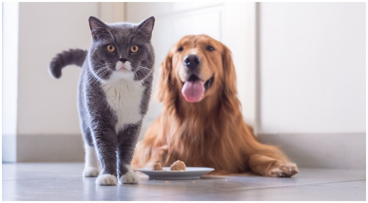 Golden retriever and a grey cat standing next to him