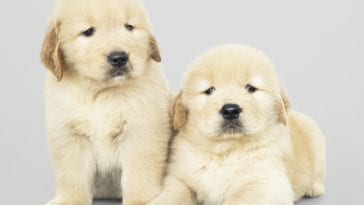 Two Golden retriever puppies for sale in USA
