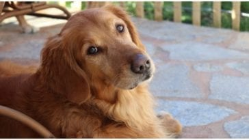 Golden retriever looking at his owner while he is wondering how long do dogs live
