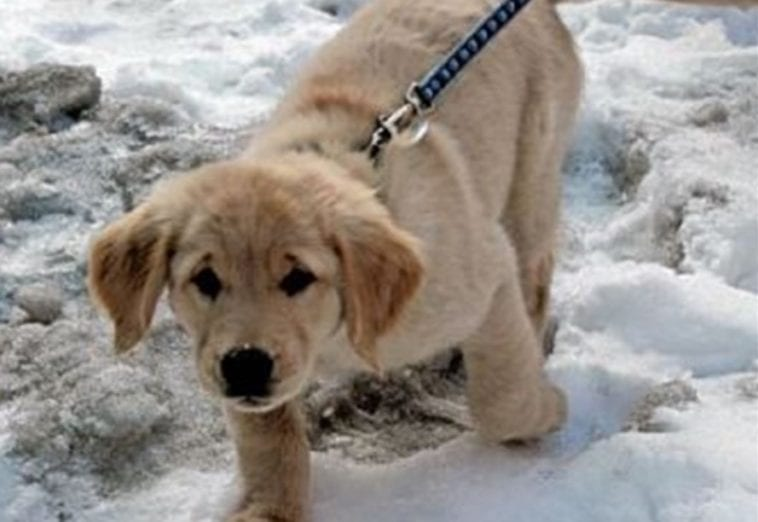 golden retriever puppy training to help blind people
