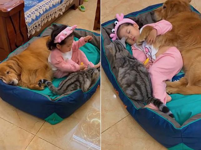 golden retriever, girl and cat cuddle