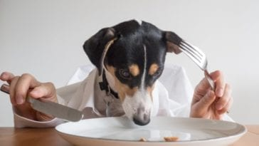 Funny picture of a dog eating in order to answer the question how much should I feed my dog?
