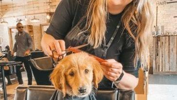 golden retriever in hair salon