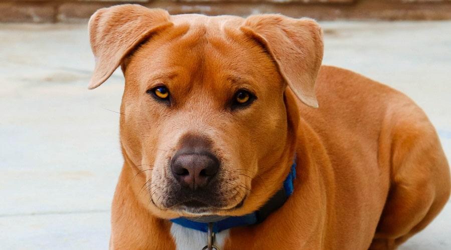 golden bull brown dog