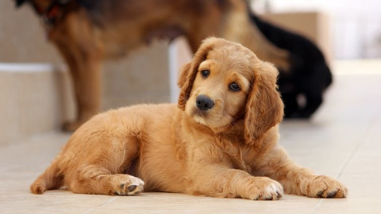 mix golden coocker retriever brown puppy