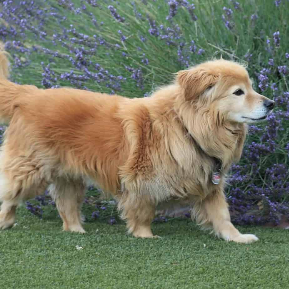 golden corgi cute puppy mix