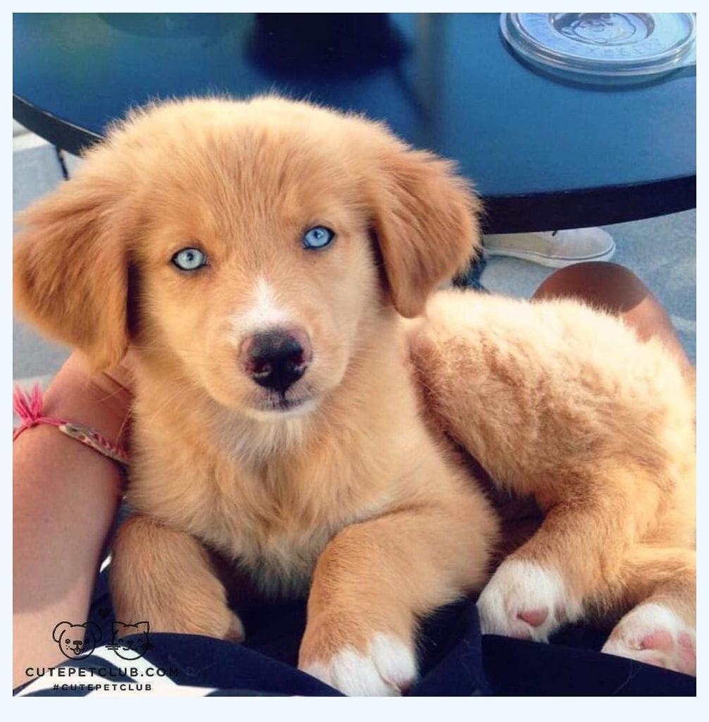 golden retriever mix: golden husky puppy