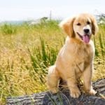 The Golden retriever personality is very unique
