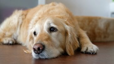 Picture of a anxious Golden retriever in order to answer the question how to calm a dog down