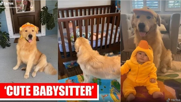 golden retriever taking care of baby