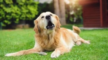 Image of Golden retriever barking in order to answer the question how to get a dog to stop barking