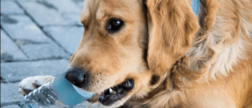 golden retriever chewing bottle