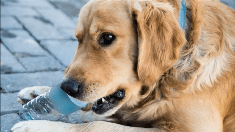 golden retriever chewing bottle