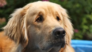 Picture of a Golden retriever in order to answer the question what do dogs see