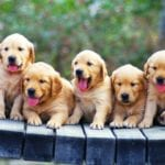 Picture of puppies in order to explain how to find Golden retriever breeders near me