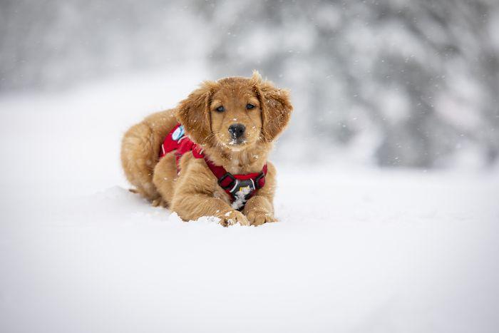 golden retriever puppy rescuing people