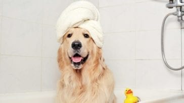 Picture to support the article on how often should you bathe your dog