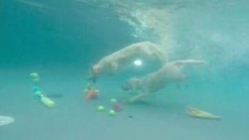 golden retrievers diving