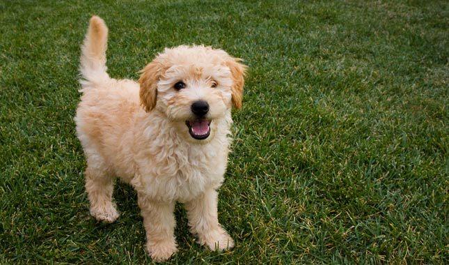 goldendoodle cream-colored puppy
