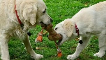 golden retrievers sharing a toy