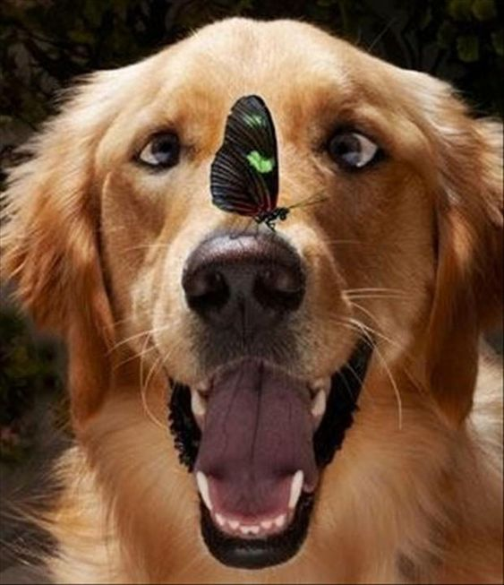 cute golden retriever with butterfly on his nose