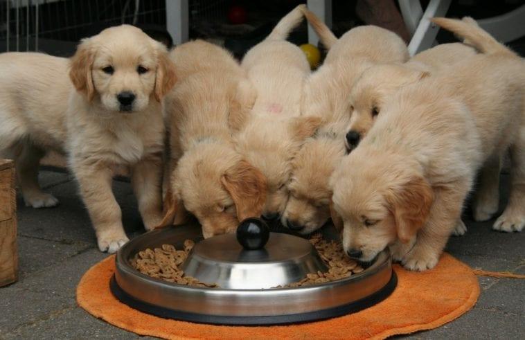 Three golden retriever puppies eating grains