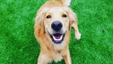 Picture of Golden retriever to answer the question are Golden retrievers hyper?