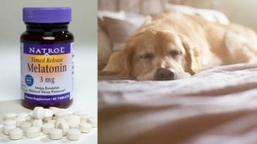 Bottle of Melatonin and a Dog in order to answer the question can you give dogs melatonin