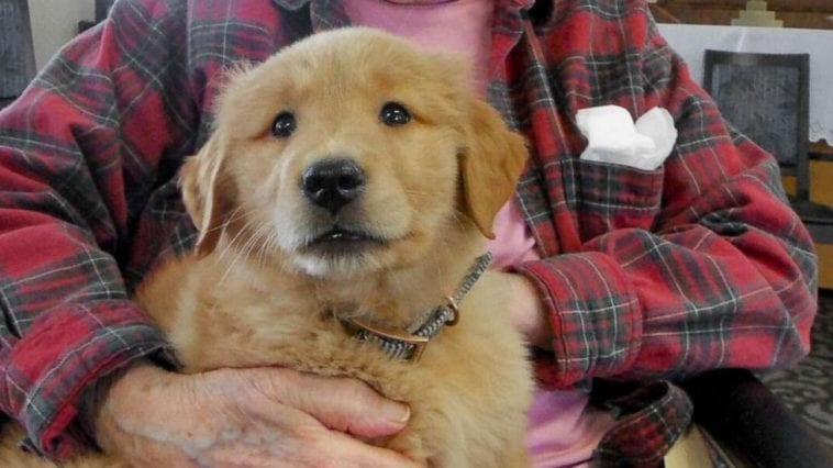 golden retriever puppy as a therapy in a nursing home