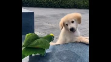 golden retriever puppy playing with parrot