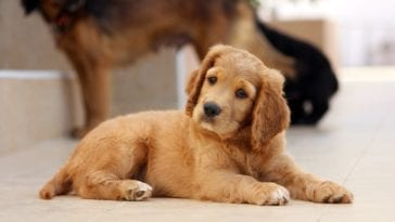 Golden Cocker Retriever