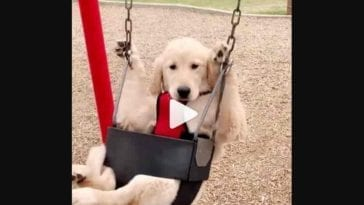 golden retriever puppy swinging