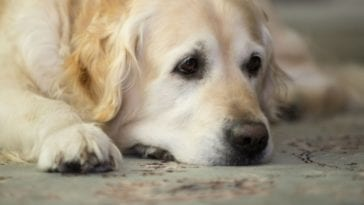 Hurt golden retriever in order to answer can you put neosporin on a dog