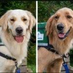 golden retriever service dogs