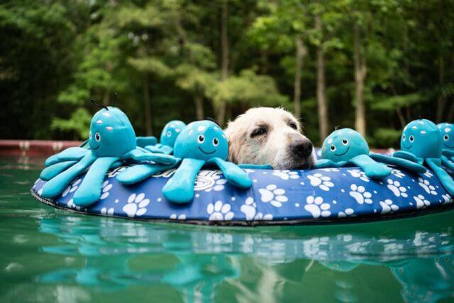 sick golden retriever resting in the pool