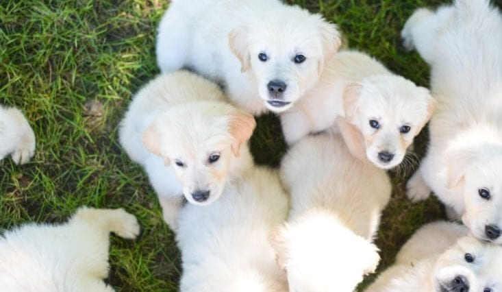 Picture of white Golden retriever puppies