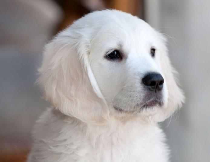 Very light cream colored Golden retriever puppy